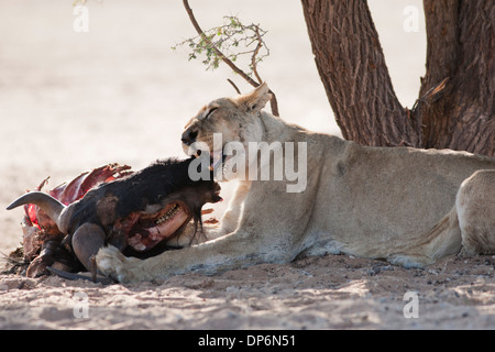 African Lioness with kill in the Kalahari desert - Stock Photo