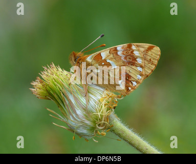Shepherd's Fritillary (Boloria pales) adult, roosting on alpine ranunculus seedhead, Italian Alps, Italy, July - Stock Photo