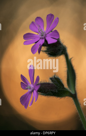 Red Campion (Silene dioica) close-up of flowers, at sunset, Kent, England, June - Stock Photo