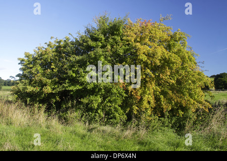 Common Hawthorn (Crataegus monogyna) habit, with leaves partially changed to autumn colour, West Yorkshire, England, - Stock Photo