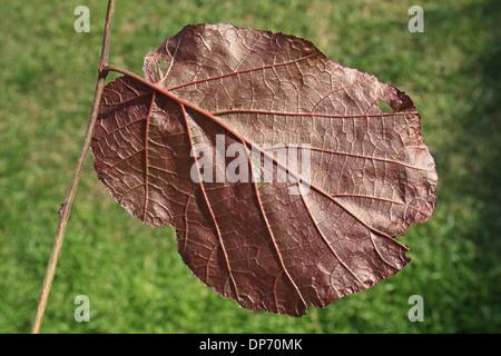 Filbert (Corylus maxima) 'Purpurea', close-up of leaf underside, in garden, Suffolk, England, August - Stock Photo