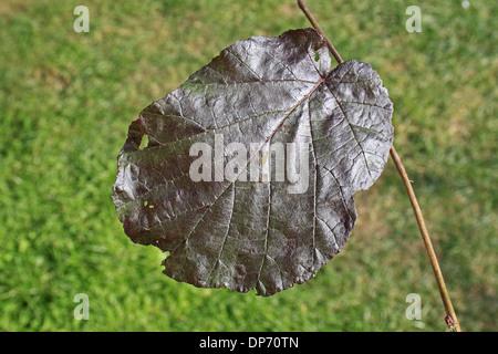 Filbert (Corylus maxima) 'Purpurea', close-up of leaf, in garden, Suffolk, England, August - Stock Photo