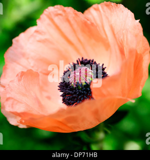 gorgeous orange oriental poppy carneum  Jane Ann Butler Photography  JABP814 - Stock Photo