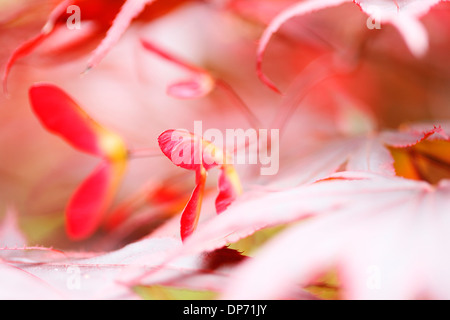 atmospheric dreamy red maple tree with winged samaras  Jane Ann Butler Photography  JABP822 - Stock Photo