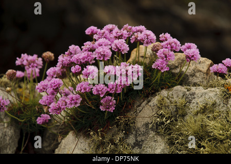 Thrift (Armeria maritima) flowering clump growing on lichen covered rocks Holyhead Holy Island South Stack Cliffs - Stock Photo