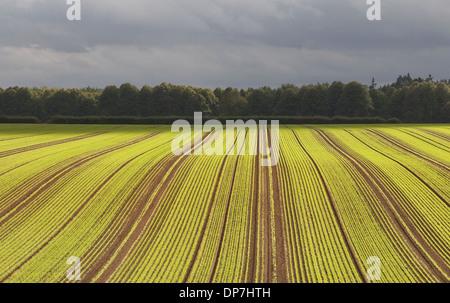 Winter Wheat (Triticum aestivum) crop, seedlings growing in field with tramlines, Rackheath, Norfolk, England, October - Stock Photo