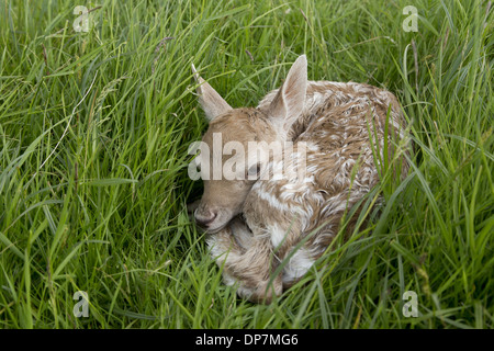 Fallow Deer (Dama dama) newborn fawn, resting in grass field, Suffolk, England, June - Stock Photo