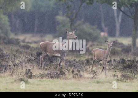 Red Deer (Cervus elaphus) hind and calf, walking on heathland during rainfall, Minsmere RSPB Reserve, Suffolk, England, - Stock Photo