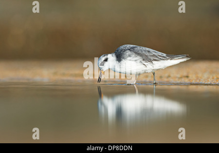 Grey Phalarope-Phalaropus fulicarius, Winter. Uk - Stock Photo