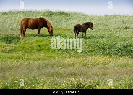 Icelandic horse (mare and foal) grazing in field, Iceland - Stock Photo