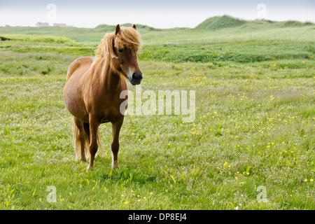 Icelandic horse grazing in field, Iceland - Stock Photo