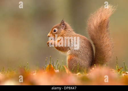 Red Squirrel, Sciurus vulgaris on the ground feeding - Stock Photo