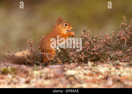 Red Squirrel, Sciurus vulgaris in heather Stock Photo