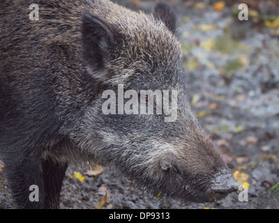 Adult wild boar looking sideways into the camera - Stock Photo
