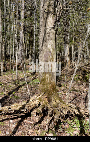 Tree roots near Black River Harbor Falls in Bessemer, Michigan - Stock Photo
