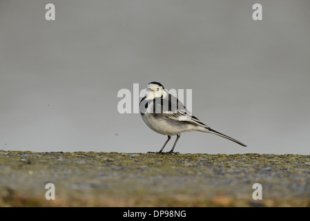 Pied wagtail (Motacilla alba) hunting for insects along a sea wall. Several of these small insects can be seen flying. - Stock Photo