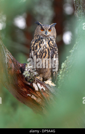 Eurasian Eagle Owl, Bubo bubo in a pine tree - Stock Photo