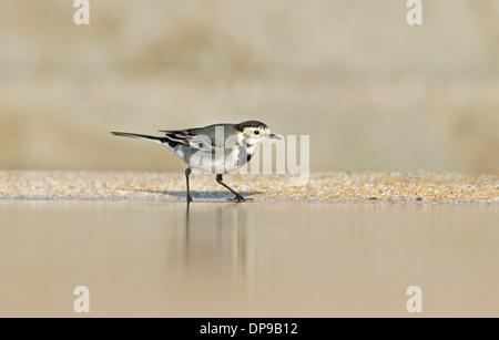 Female Pied Wagtail-Motacilla alba. Uk - Stock Photo