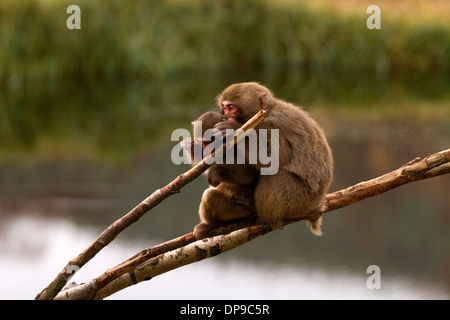 Japanese Macaque; Snow Monkey; Macaca fuscata knit picking - Stock Photo