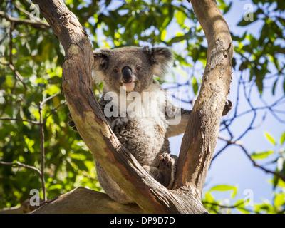 Koala bear sitting in a tree in Australia - Stock Photo
