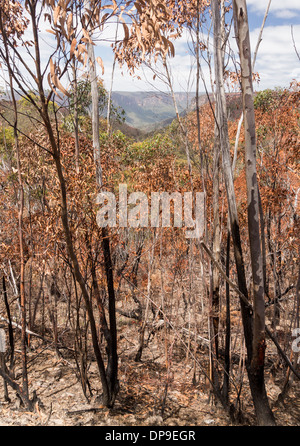 Charred and dead trees in a forest after a bush fire in Blue Mountains of New South Wales, Australia - Stock Photo