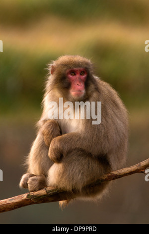 Japanese Macaque; Snow Monkey; Macaca fuscata sitting - Stock Photo
