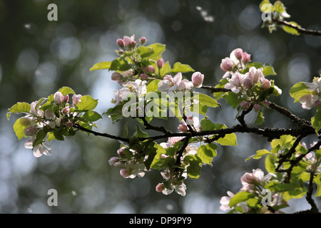 apple blossoms and apple buds in spring time - Stock Photo