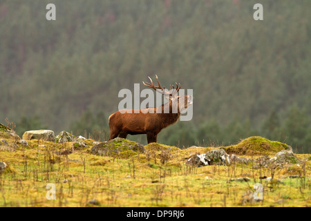 Red Deer Stag in Scotland's highlands - Stock Photo