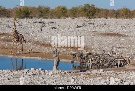 Zebras at waterhole - Stock Photo