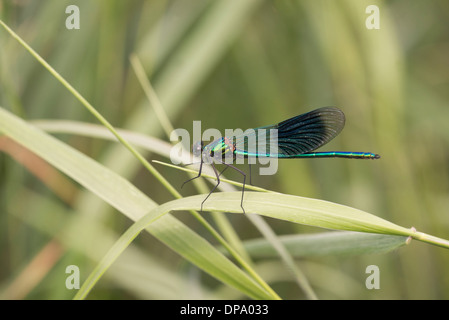 Banded demoiselle (Calopteryx splendens). Mature male. - Stock Photo