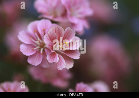 closeup of pink and red flower with blured background, Neon Rose, Stonerose, Saxifraga - Stock Photo