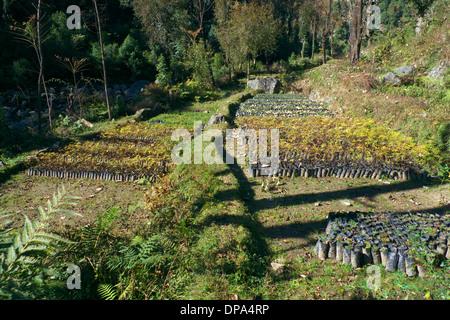 Indian government forestry tree nursery, nr Gehra, nr Mcleodganj, Himachal Pradesh, N. India - Stock Photo