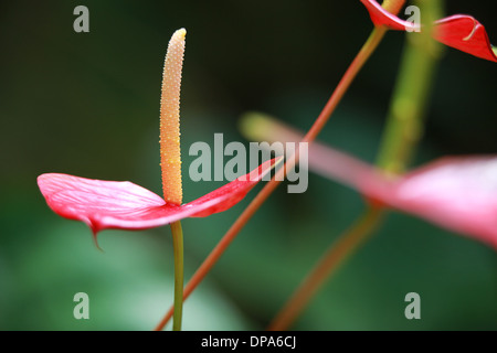 Close-up komposition of Anthuriums flowers - Stock Photo