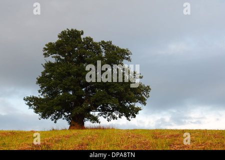 Viiralti Oak, Viljandi District, Estonia. Oak tree in a field in summer set against a blue sky with alto cumulus - Stock Photo