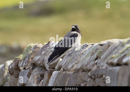 Hooded crow (Corvus cornix) perched on wall - Stock Photo