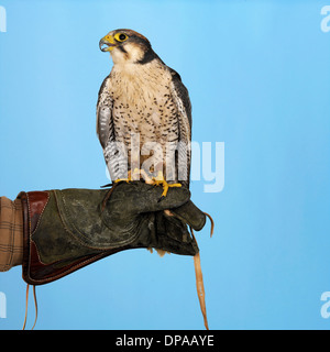 Lanner Falcon perched on hand - Stock Photo