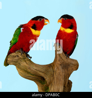Yellow Bibbed Lories on wooden sculpture - Stock Photo