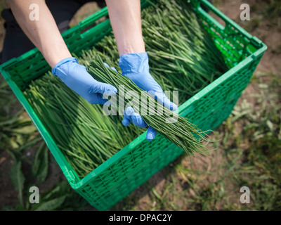 Worker holding freshly cut chives - Stock Photo