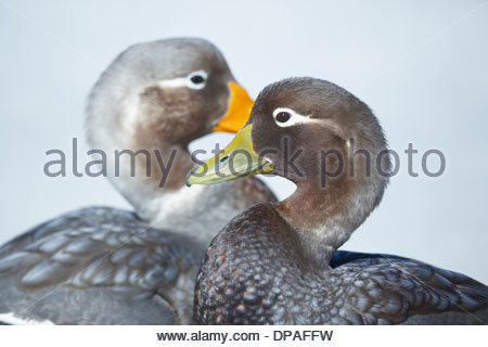 Steamer duck (Tachyeres brachypterus) pair, Falkland Islands - Stock Photo