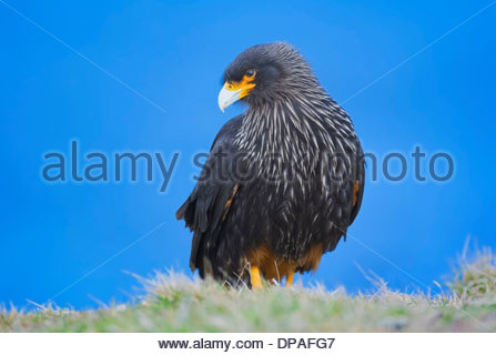 Striated Caracara (Phalcoboenus australis), Falkland Islands - Stock Photo