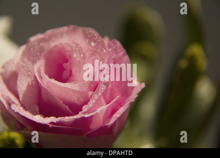 Pink Eustoma flower With waterdrops on dark bokeh background - Stock Photo