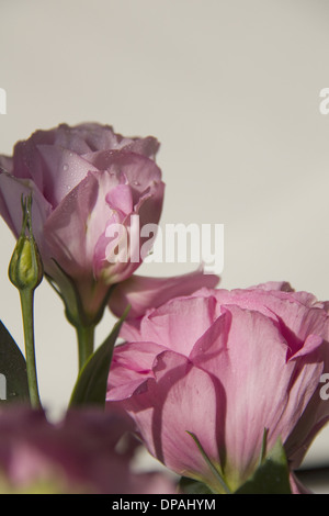 Pink Eustoma flowers  on Grey background (copy-space) - Stock Photo