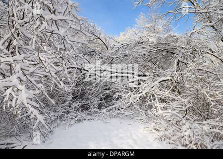 Forest path in Park along Humber river blocked by fallen trees covered in ice and snow Toronto after a storm - Stock Photo