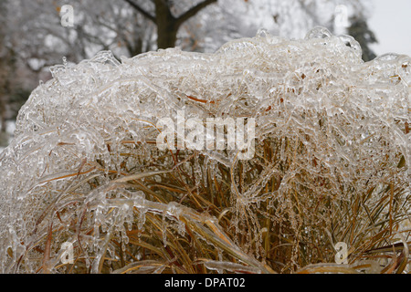 Ice and icicles on switchgrass after a freezing rain ice storm in Toronto - Stock Photo