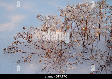 Thick ice on a Spirea plant in winter snow after a freezing rain ice storm in Toronto 2013 - Stock Photo