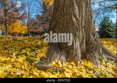 Autumn Ginkgo leaves carpeting lawn - Stock Photo