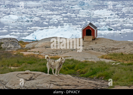 Sled dog with icebergs in Disko Bay, Ilulissat, West Greenland - Stock Photo