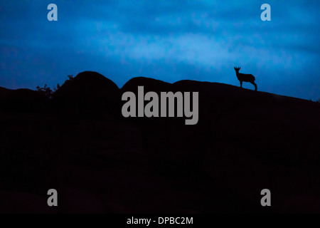 Spain, Madrid, La Pedriza, young Spanish wild goat, capra pyrenaica, silhouette on top of rocks - Stock Photo