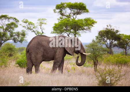 A Bull Elephant ( Loxodonta africana ) grazing in Kruger National Park, South Africa. - Stock Photo