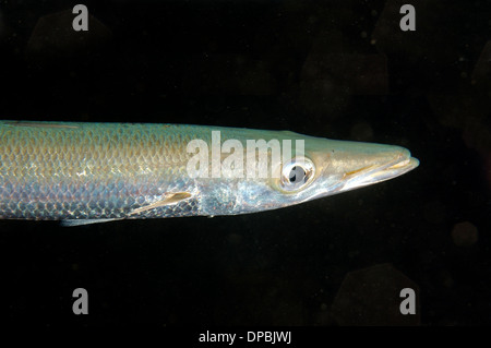 great barracuda or giant barracuda (Sphyraena barracuda) Red sea, Egypt, Africa - Stock Photo